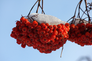 Mountain Ash Berries in January